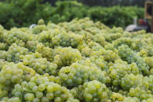 Teddington Wine Society - Semillon and Sauvignon @ By Zoom
